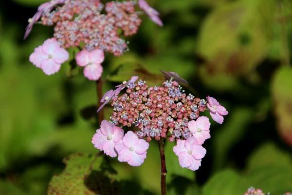6月の植物園2 菖蒲園とアジサイ園_e0048413_21124270.jpg