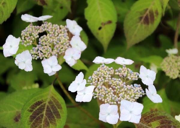 6月の植物園2 菖蒲園とアジサイ園_e0048413_21125044.jpg