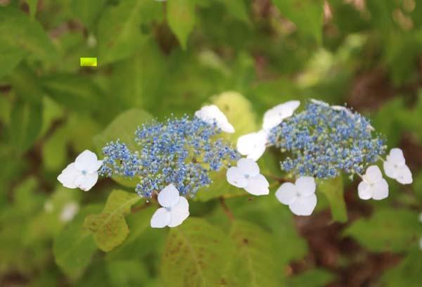 6月の植物園2 菖蒲園とアジサイ園_e0048413_21125643.jpg