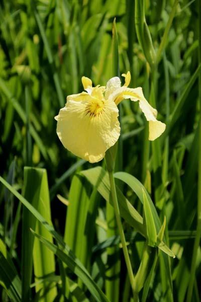 6月の植物園2 菖蒲園とアジサイ園_e0048413_21130072.jpg