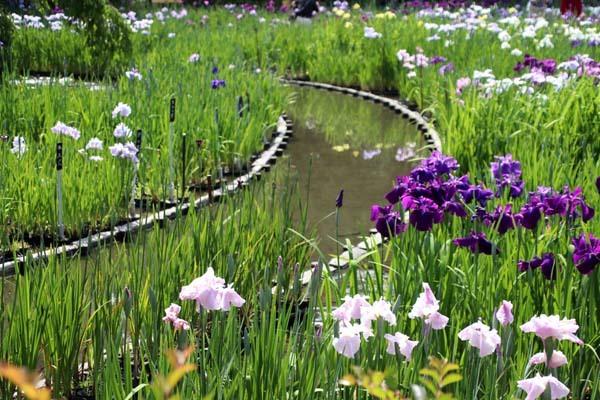 6月の植物園2 菖蒲園とアジサイ園_e0048413_21130831.jpg