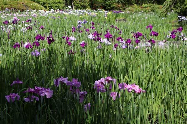6月の植物園2 菖蒲園とアジサイ園_e0048413_21131778.jpg