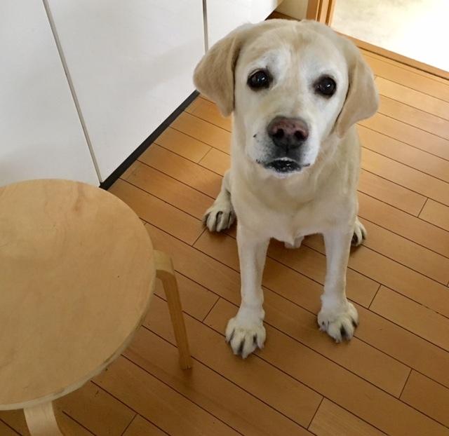 Labrador Retriever    嗅覚 衰えず・・・_a0165160_21271636.jpg