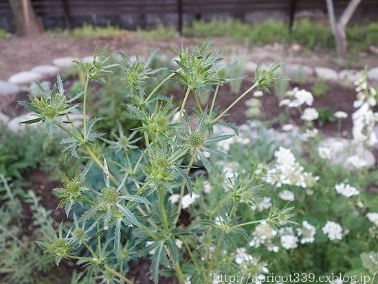 初夏の庭しごと 宿根草の植えつけ_c0293787_13043661.jpg
