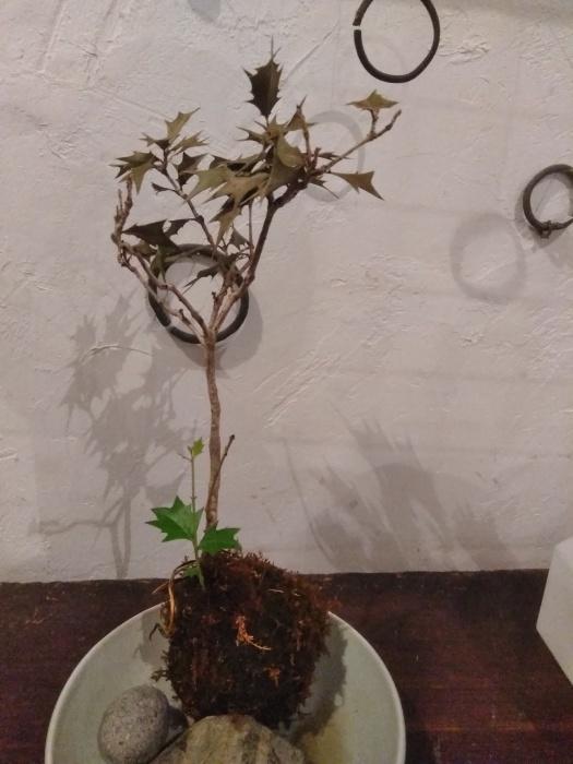 柊の新芽。その後。_e0350308_16521990.jpg