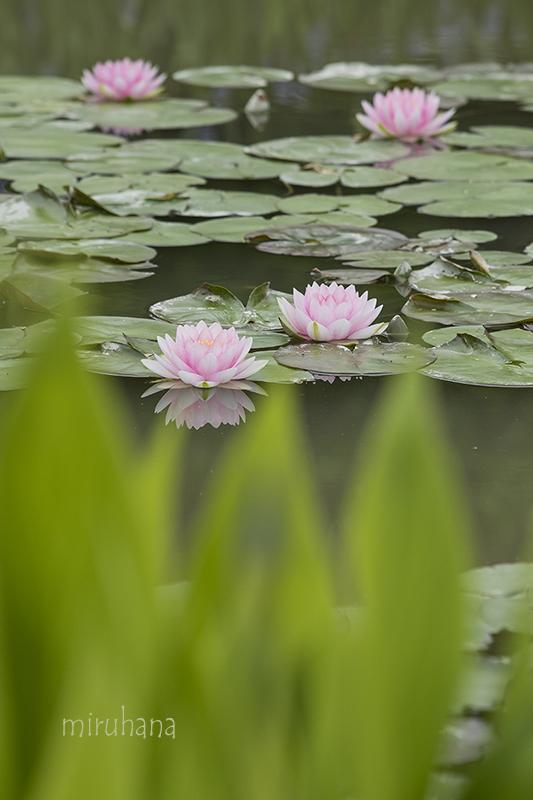 モネの池のスイレンと我が家の箱入り娘。_c0037519_11083629.jpg