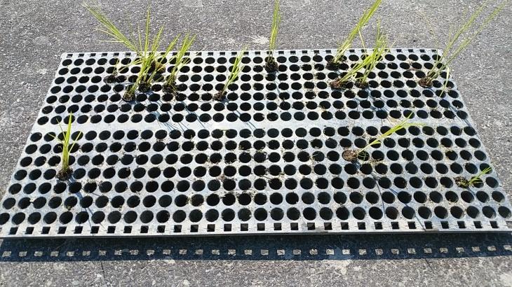 田んぼの土使用の自然栽培苗、今年も苦戦_b0274329_13540642.jpg