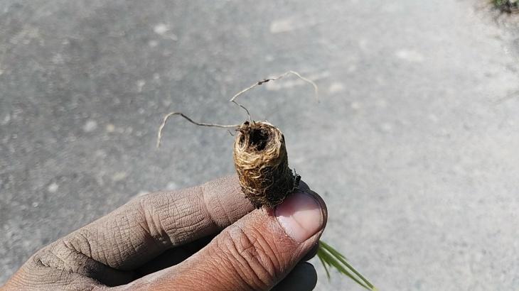 田んぼの土使用の自然栽培苗、今年も苦戦_b0274329_13541051.jpg
