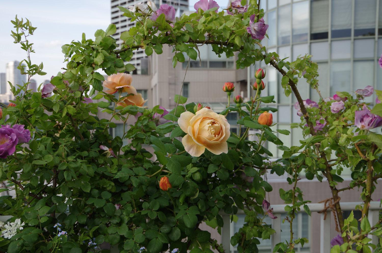 マンションに咲く薔薇_a0074540_11085188.jpg