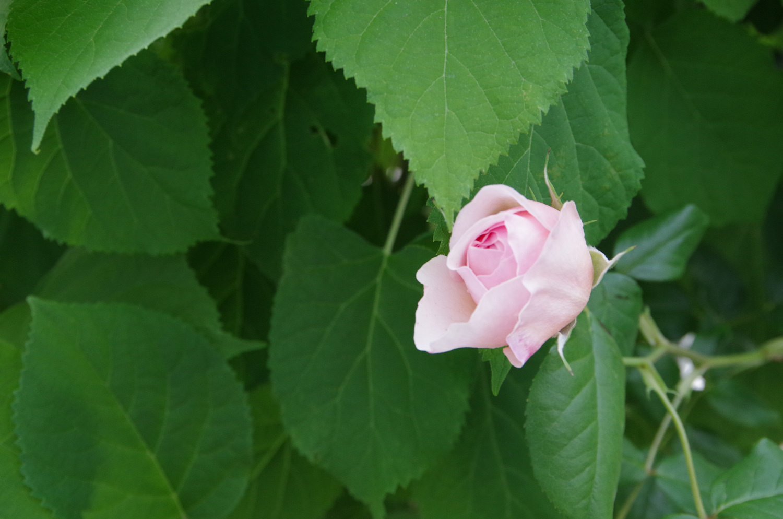 マンションに咲く薔薇_a0074540_11093711.jpg