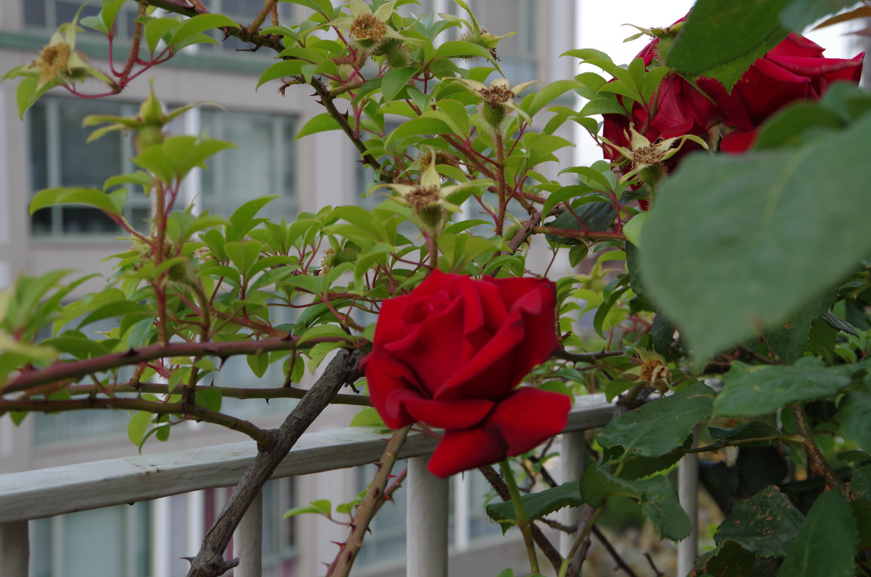 マンションに咲く薔薇_a0074540_11142060.jpg