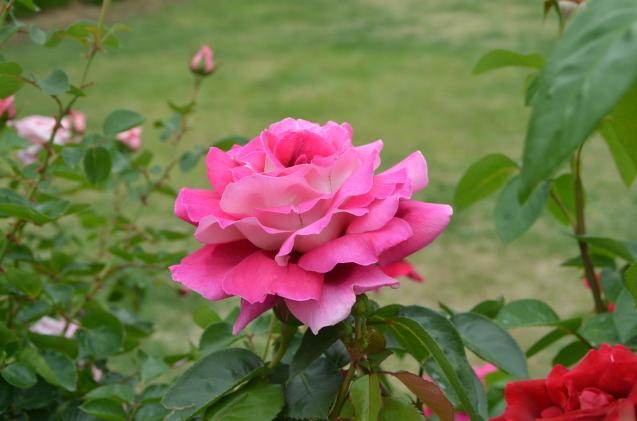 薔薇園_c0202242_10184194.jpg