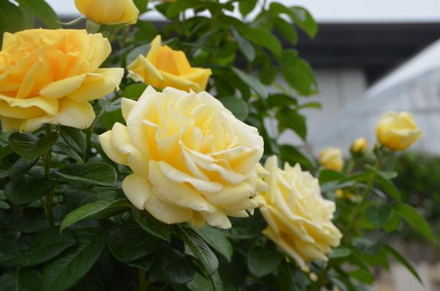 薔薇園_c0202242_10190454.jpg