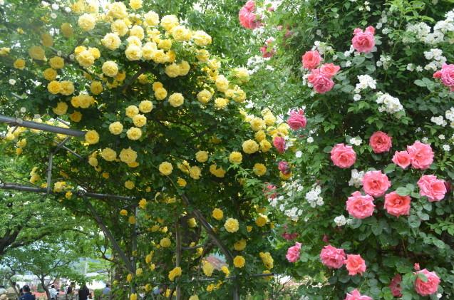 薔薇園_c0202242_10201539.jpg