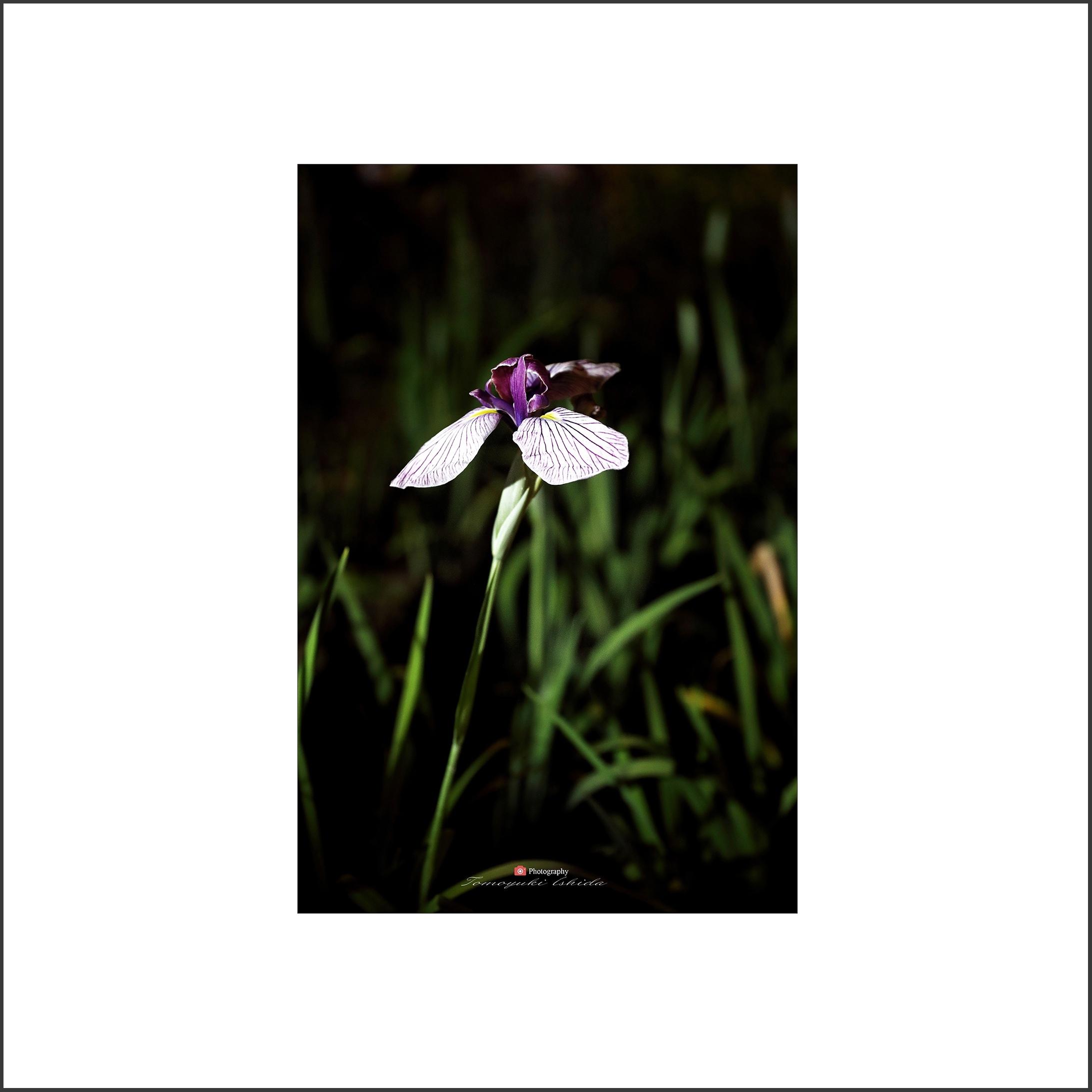 花しょうぶ_c0253556_05392274.jpg