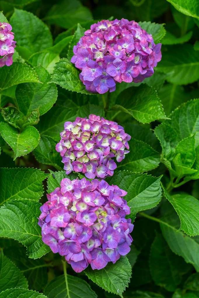 近所の紫陽花_f0044056_16123138.jpg