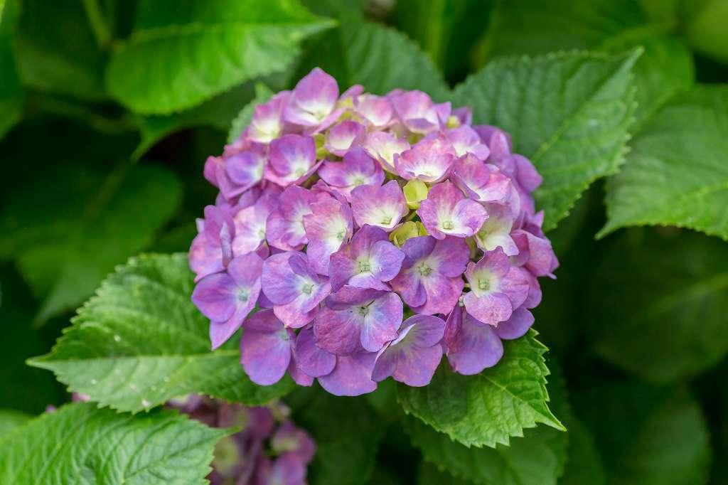 近所の紫陽花_f0044056_16131606.jpg