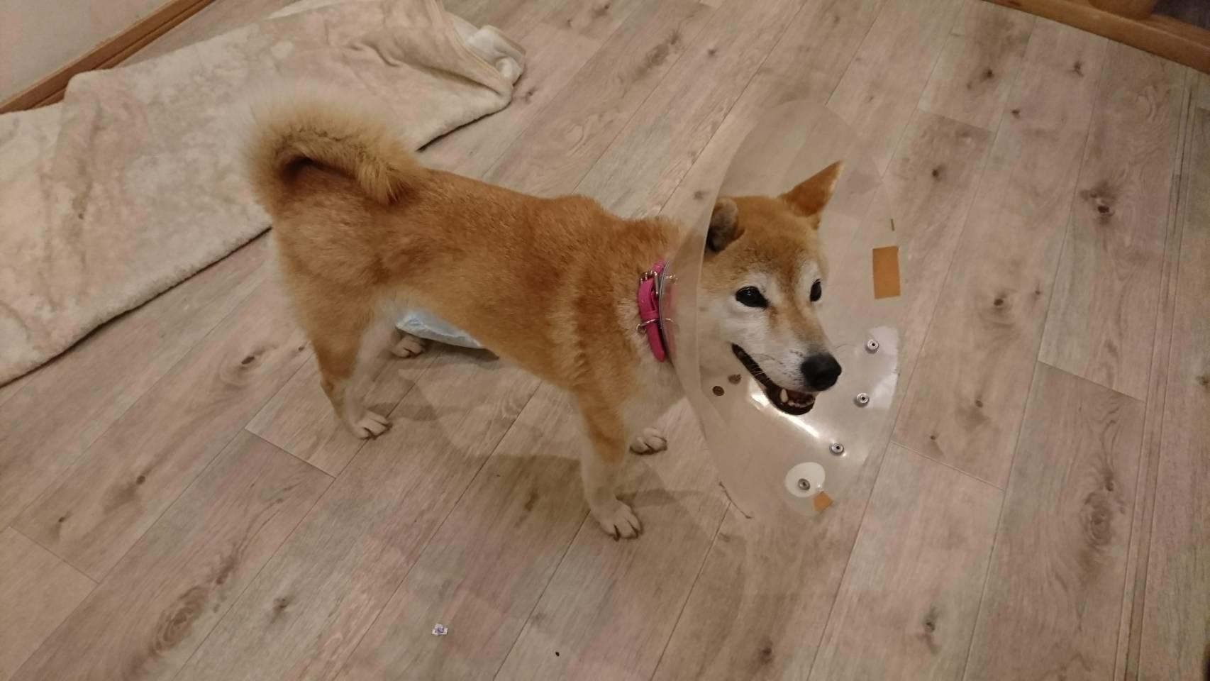 柴犬モモコちゃんの里親さま募集中!_f0242002_11110847.jpg