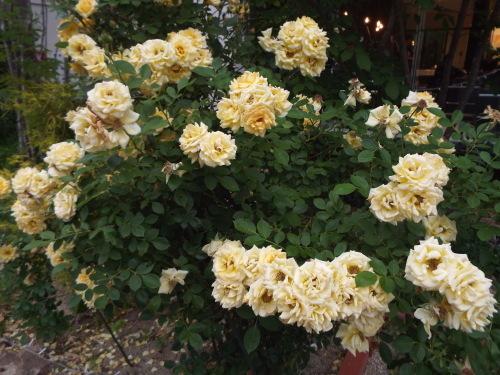女将はお花好き、観葉植物も好き。_b0184336_18163446.jpg