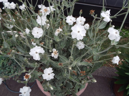 女将はお花好き、観葉植物も好き。_b0184336_18171488.jpg