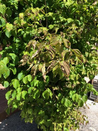 樹木診断と芽摘み_c0112447_07553305.jpg