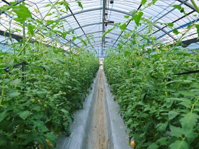 樹上完熟の朝採りトマト 令和元年の予約販売受付スタート!初回出荷は6月11日(火)です!_a0254656_17095110.jpg