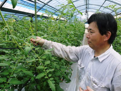 樹上完熟の朝採りトマト 令和元年の予約販売受付スタート!初回出荷は6月11日(火)です!_a0254656_17284355.jpg