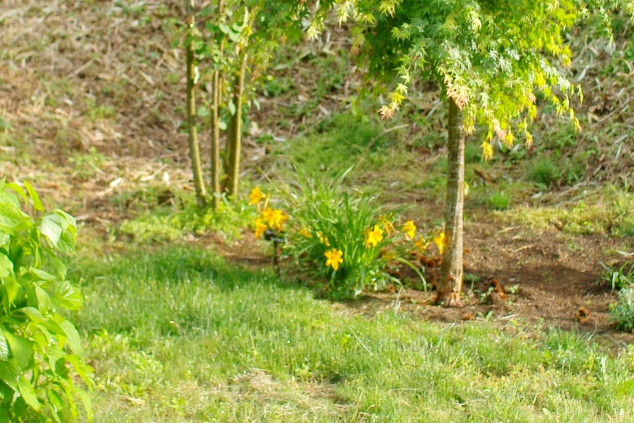 庭のヘメロカリス_c0110869_17571463.jpg