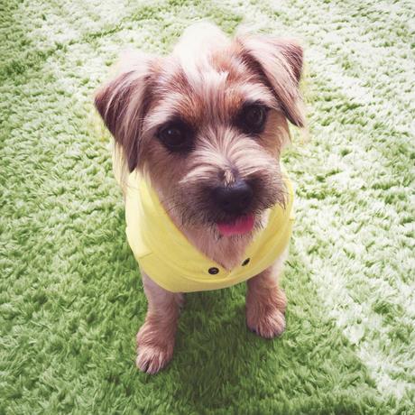 ★ビビッドカラーが眩しい!小型犬ドッグウェア★_b0400675_11525190.jpeg