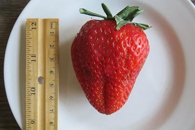 巨大イチゴ!_b0209691_16162217.jpg