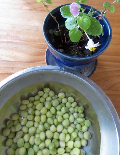 ツタンカーメン豆という名のえんどう豆。_e0341401_06230611.jpg