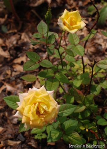 裏庭と花壇の様子(5月~6月上旬)その1_b0253205_03325124.jpg