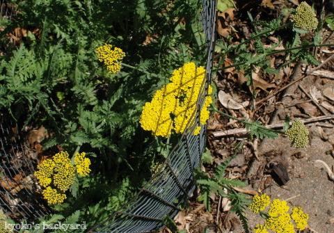 裏庭と花壇の様子(5月~6月上旬)その1_b0253205_03341275.jpg
