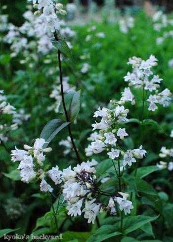 裏庭と花壇の様子(5月~6月上旬)その1_b0253205_03351168.jpg