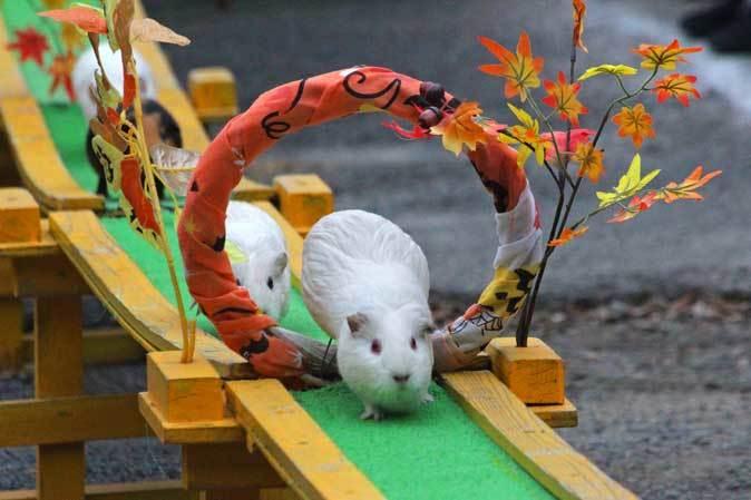 テンジクネズミのおかえり橋(智光山公園こども動物園 October 2018)_b0355317_22240424.jpg