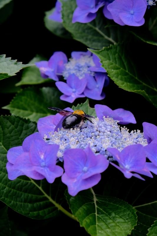 紫陽花季_f0315034_12263640.jpg