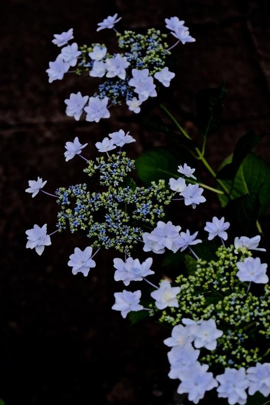 紫陽花季_f0315034_12265477.jpg