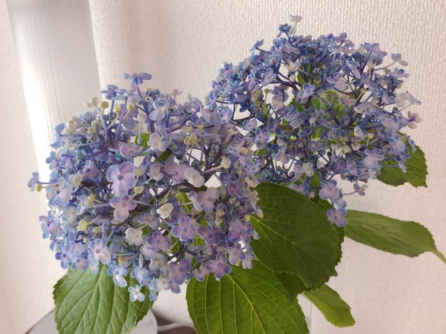 ポップコーン紫陽花_f0140145_08593930.jpg