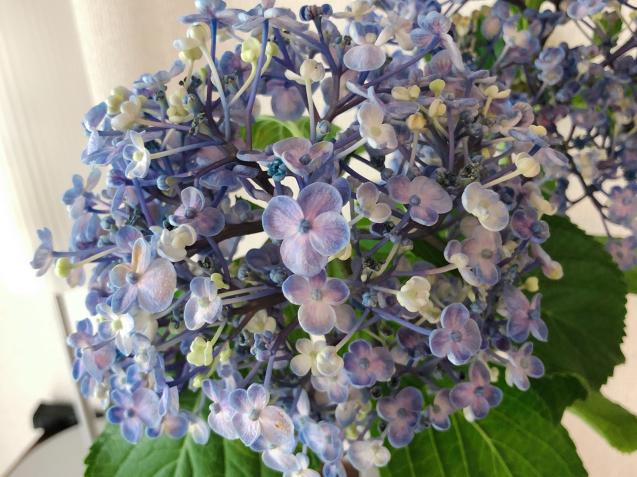 ポップコーン紫陽花_f0140145_08594516.jpg