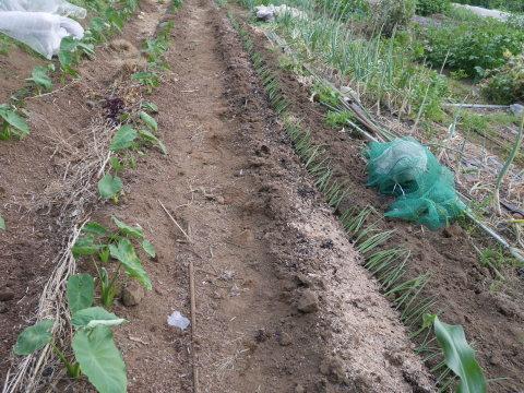 キュウリ初収穫、サトイモに追肥・土寄せ、ネギ移植6・4~5_c0014967_06555450.jpg