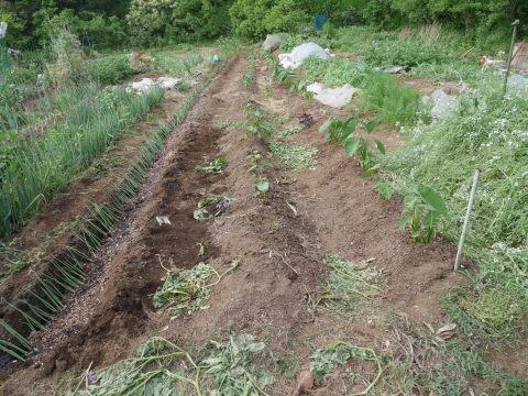 キュウリ初収穫、サトイモに追肥・土寄せ、ネギ移植6・4~5_c0014967_06560970.jpg