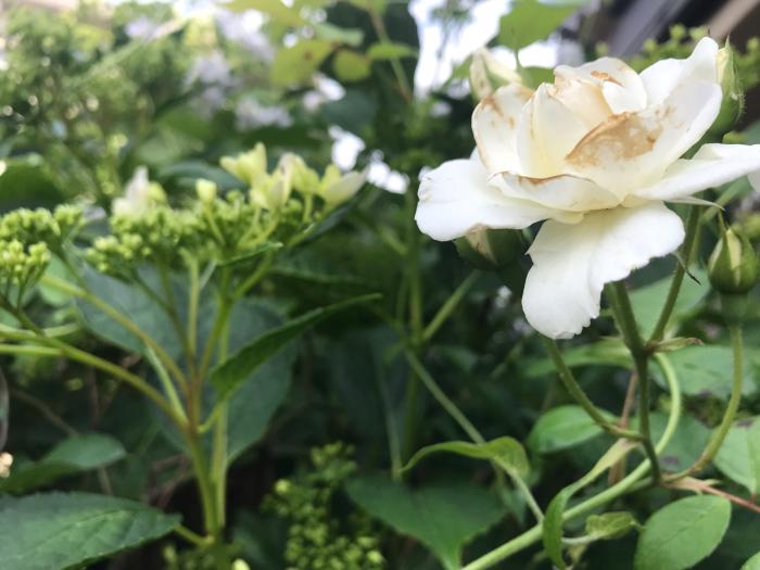 庭の紫陽花_e0233674_16485531.jpg