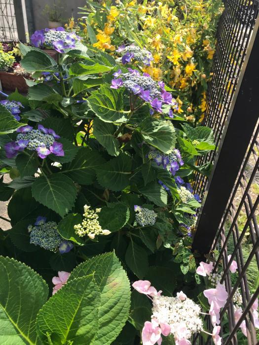 庭の紫陽花_e0233674_16485936.jpg