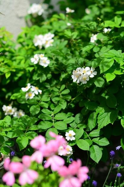 薔薇の庭 つづき_d0025294_16093938.jpg
