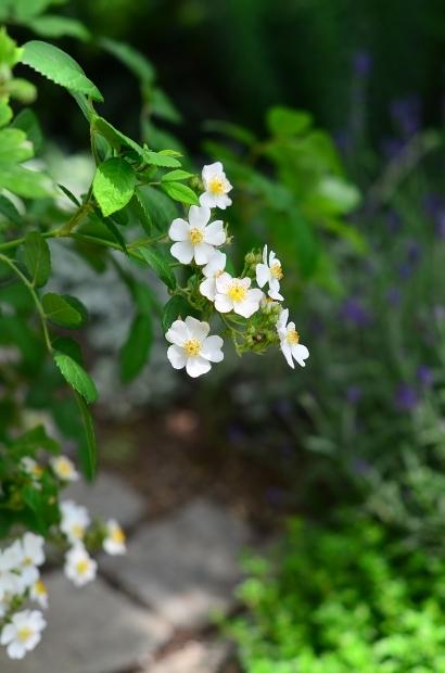 薔薇の庭 つづき_d0025294_16095491.jpg
