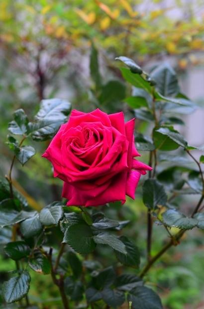 薔薇の庭 つづき_d0025294_16101655.jpg
