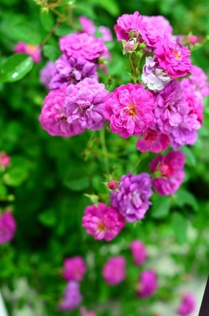薔薇の庭 つづき_d0025294_16110520.jpg