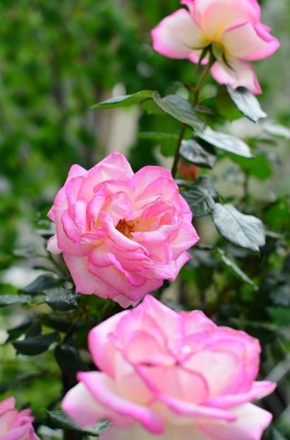 薔薇の庭 つづき_d0025294_16111880.jpg