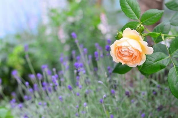 薔薇の庭 つづき_d0025294_16114259.jpg