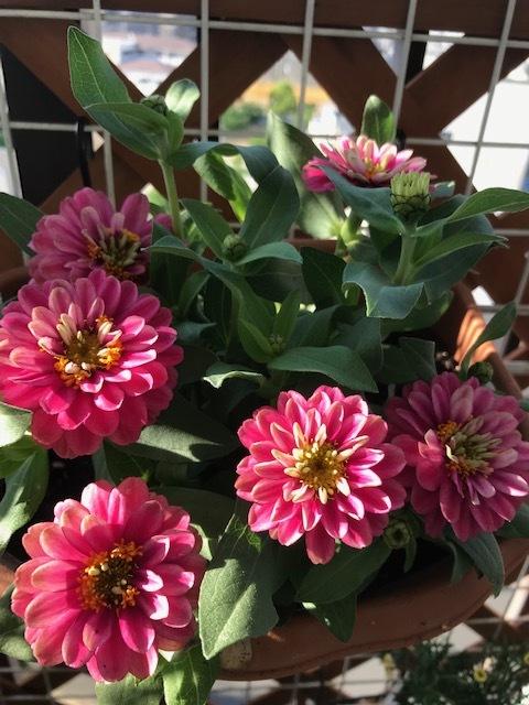 ベランダの花_f0204295_16395677.jpg